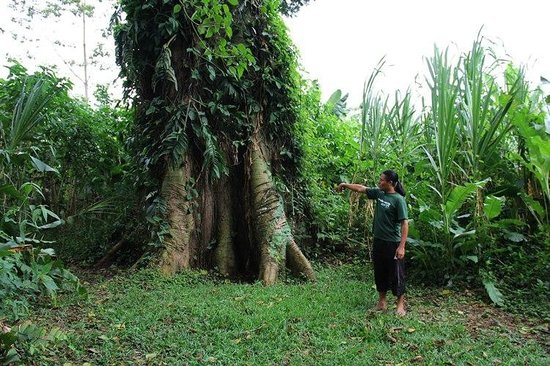 Cacao Trails Culture Tour: Learning about the ecosystem in the area