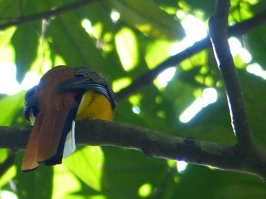Khaoyai Nature Life & Tours: de yellowbreasted trogon