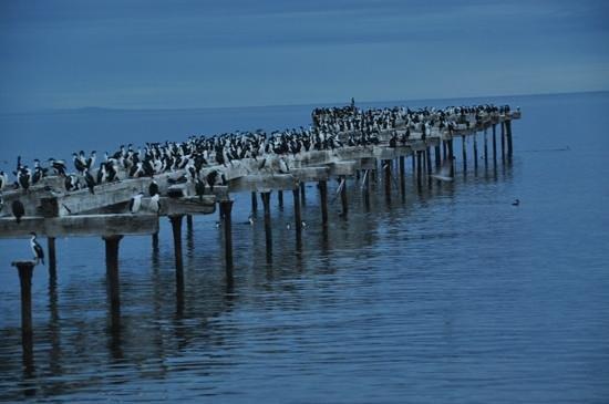 Diego de Almagro Punta Arenas: cormorans sur le vieux ponton