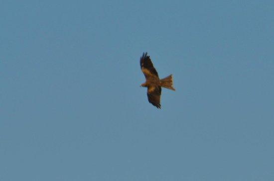 Werribee Park : Soaring kite
