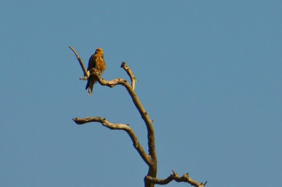 Werribee Park : Kite in the tree top