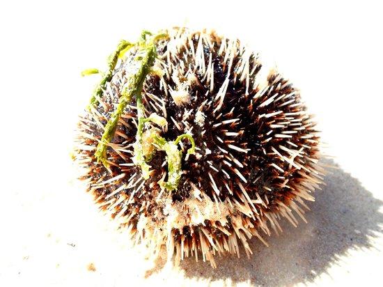 Veranda Palmar Beach: sea urchin