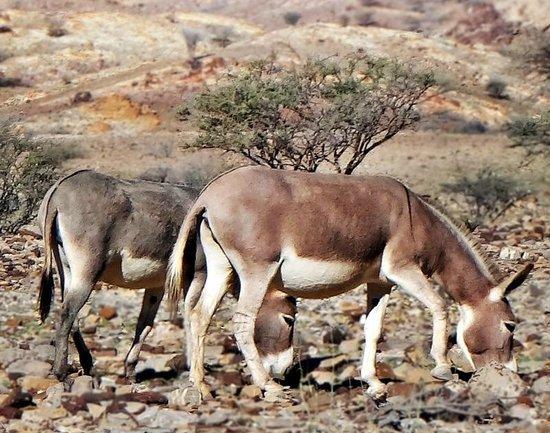 Hatta Rock Pools: Wild donkeys at Hatta