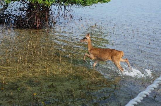 The Menjangan: Menjangan/deer