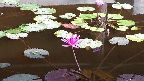 Thapwarin Resort: Озерцо с лотосами