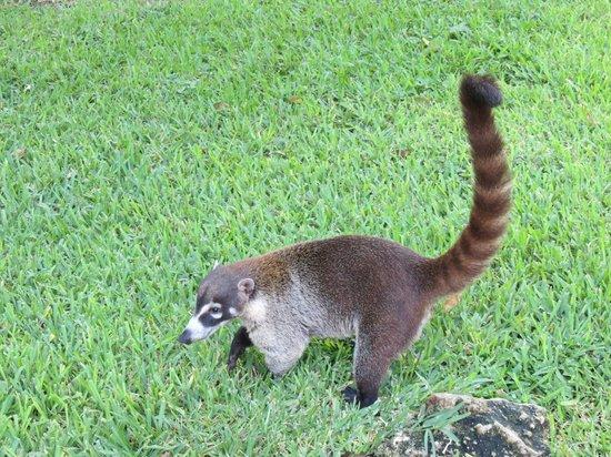 Iberostar Quetzal Playacar: Coati