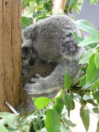Taronga Zoo: Koala and baby