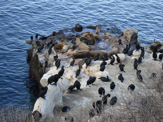 La Jolla Shores Hotel : даунтаун лежбище морских львов