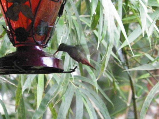 Clarissa Falls Resort : Hummingbird feeding while you eat your breakfast