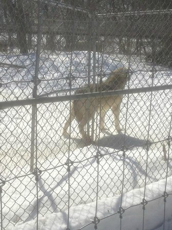 Wolf Sanctuary of PA: Timber-wolf howling.