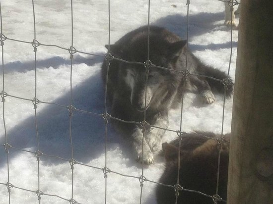 Wolf Sanctuary of PA: Enjoying the warm, sunny day, chilling on the snow.