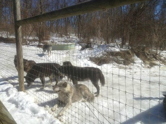 Wolf Sanctuary of PA: Waiting for a snack!