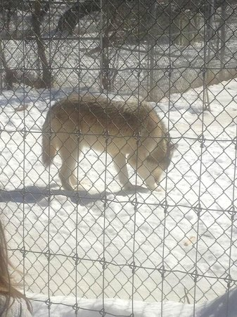 Wolf Sanctuary of PA: Full-blood Timber-wolf.