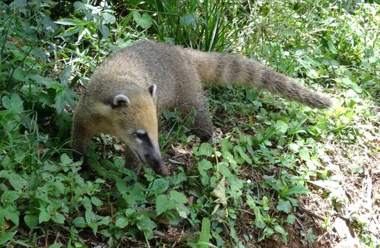 Foz do Iguaçu : Un coati