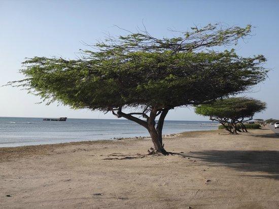 Arashi Beach: Divi Divi frente a la Playa