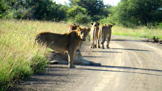 Satara Rest Camp : Löwen
