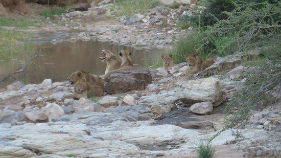 Satara Rest Camp: Löwen
