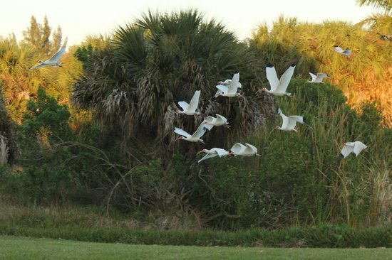 Pineland, FL: Ibis flocking