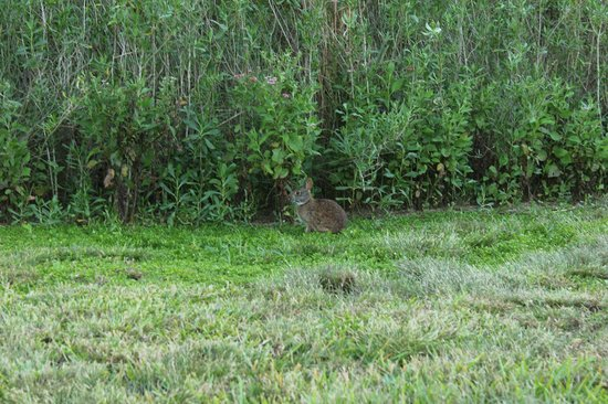 Randell Research Center: Rabbit foraging