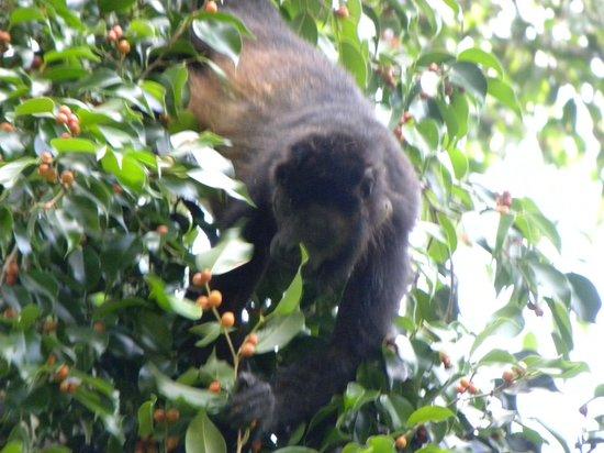 Bosque del Cabo Rainforest Lodge: Howler Monkey
