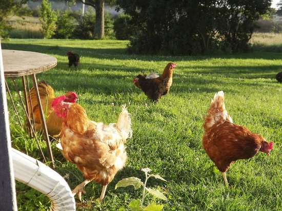 The English Experience Bed and Breakfast: Our free range chickens