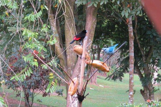 Tilajari Hotel Resort: Blue-gray tanager at feeder tree