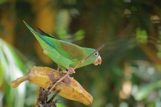 Tilajari Hotel Resort: Orange-chinned parakeet at feeder tree