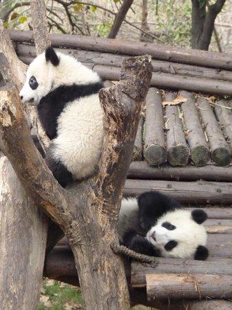 Fraser Suites Chengdu : Panda cubs