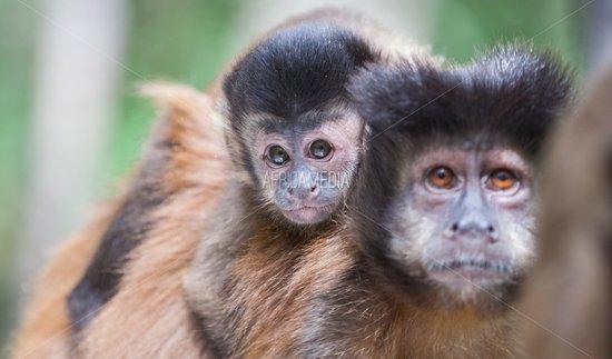 Monkeyland Primate Sanctuary: brown capuchin monkeys