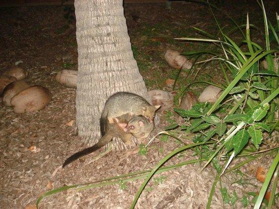 Bungalow Bay Koala Village: Visitantes noturnos