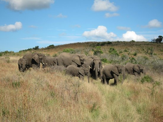 Thula Thula Exclusive Private Game Reserve and Safari Lodge: Elephants on morning game drive
