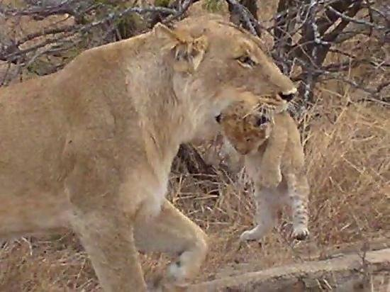 Jock Safari Lodge: mother and cub