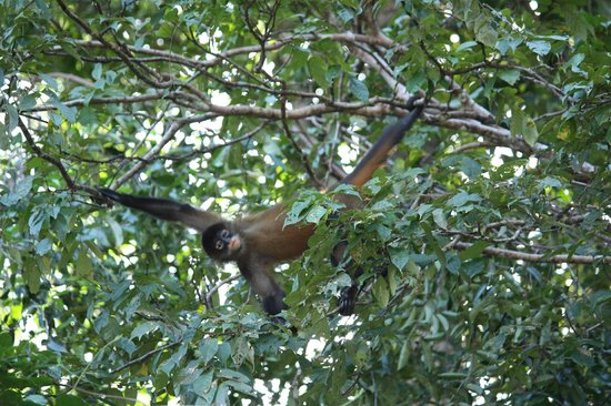 Laguna Lodge Tortuguero: Monkey along the canal