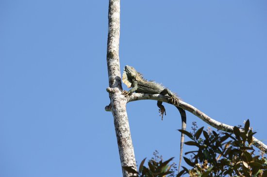 Laguna Lodge Tortuguero: Iguana above hotel pool