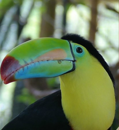 La Paz Waterfall Gardens: Toucan, up close and personal