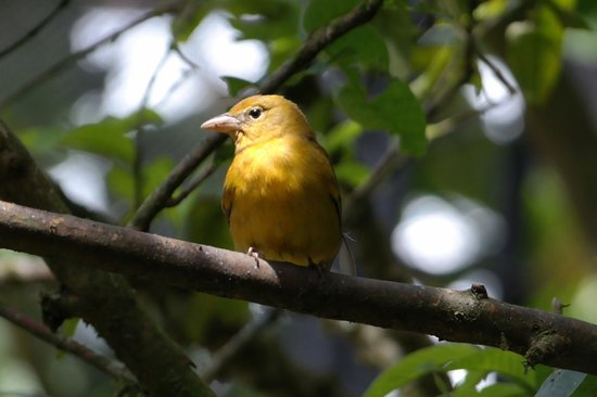 La Paz Waterfall Gardens: golden bird