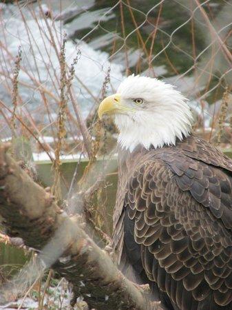 ZooAmerica North American Wildlife Park: Eagle at ZooAmerica
