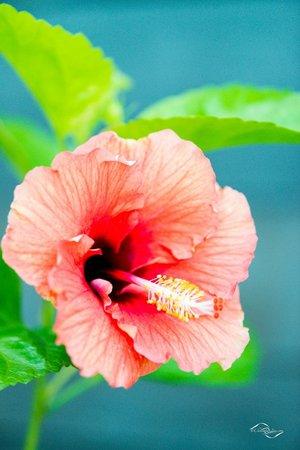 Hilton Moorea Lagoon Resort & Spa : Hibiscus