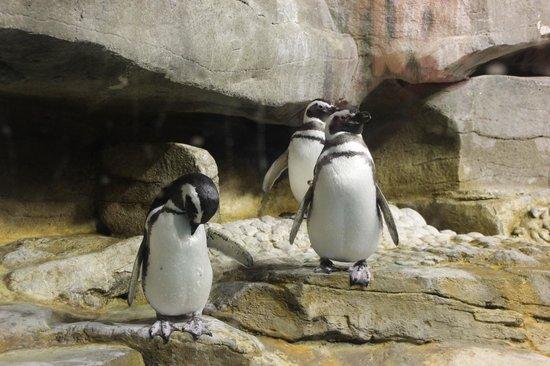 Shedd Aquarium : Penguins at the Shedd