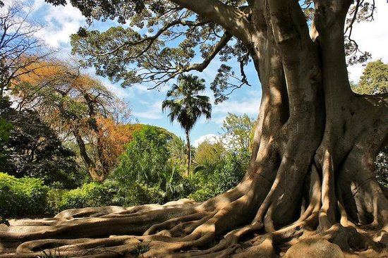 Claremont, South Africa: Under the vast Moreton Bay Fig tree