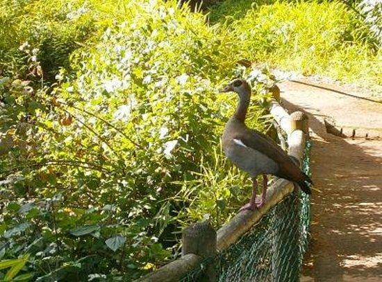 Arderne Gardens: An Egyptian goose checks out the koi pond