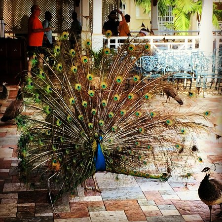 Sandals Royal Plantation : George The Peacock!  Fanned out for the ladies a few times.  Very cool!