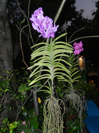 Hotel Somadevi Angkor Resort & Spa : Orchids in the garden