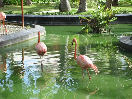 Grand Palladium Bavaro Suites Resort & Spa : flamencos
