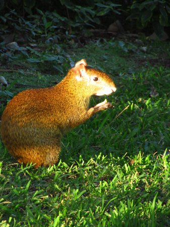 Allegro Playacar: Agouti that roam on the grounds