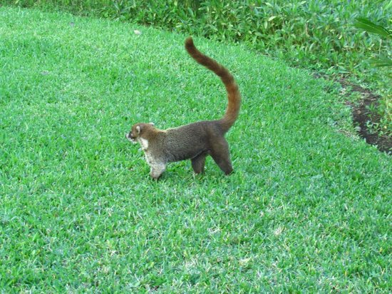 Allegro Playacar: Coati that roams the grounds