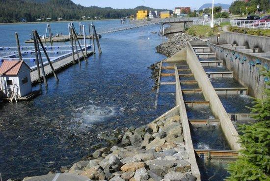 DIPAC's Macaulay Salmon Hatchery: Macaulay Salmon Hatchery