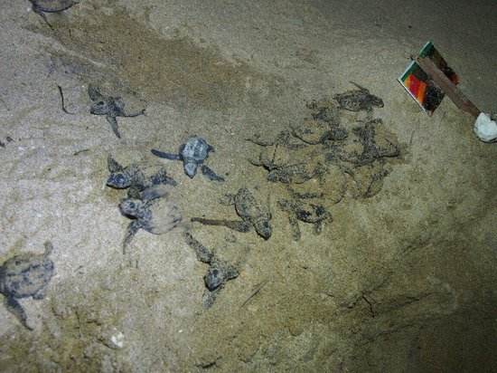 Indika's House & Tours: The sea turtle babies we saw at night time! Amazing!
