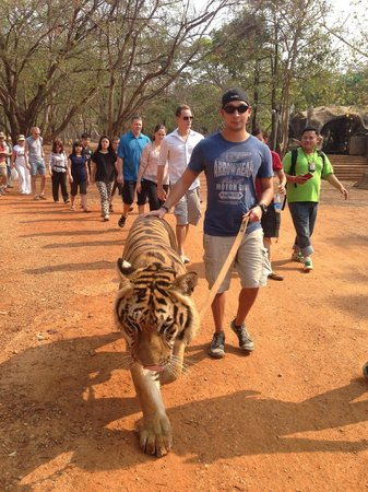 Tiger Temple ( Wat Pa luang Ta Bua) : Walking the 4 year old tiger