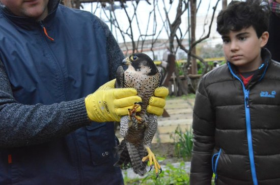 Albergo La Vigna : A rescued falcon (had been found injured by a bullet) being released back into wild after recove